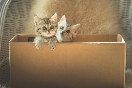 plead: Cute two tabby kittens looking in a box,vintage filter