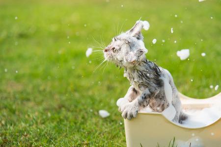 taking bath: Cute tabby taking a bath in the garden