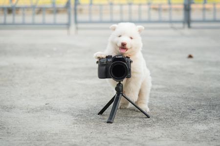 White siberian husky puppy taking a photo Фото со стока