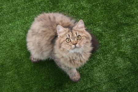 persian green: Cute persian cat looking up on green grass