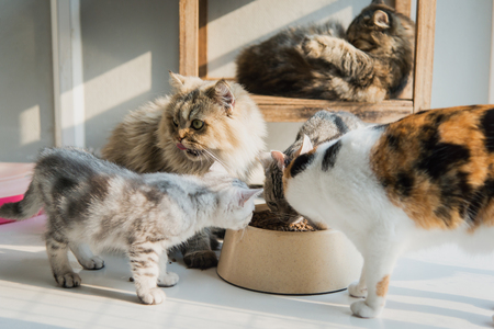 calico whiskers: Cats eating dry food on white floor