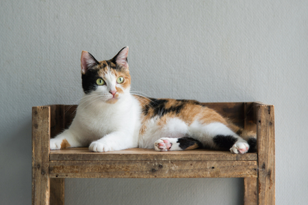 calico cat: Cute calico cat lying and looking on old wood shelf