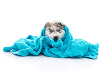 Blauwe ogen siberische husky puppy na bad is bedekt met een blauwe handdoek, geïsoleerd op een witte achtergrond