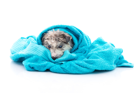 Blue eyes siberian husky puppy after bath is covered with a blue towel, isolated on white background Reklamní fotografie - 55842899