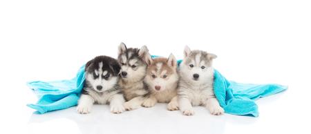 blue blanket: Cute siberian husky puppies lying under blue blanket