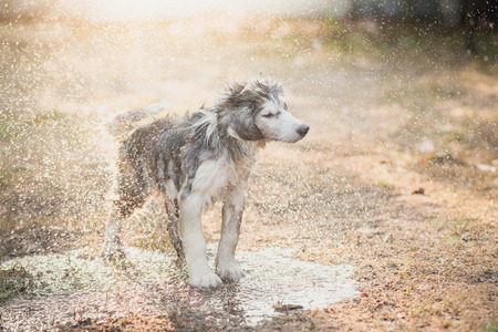 shake off: Cute siberian husky puppy shakes the water off its coat