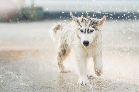 shake off: Cute siberian husky puppy running in the rain