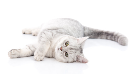 cat eye: British Shorthair cat lying and looking on white background,isolated Stock Photo
