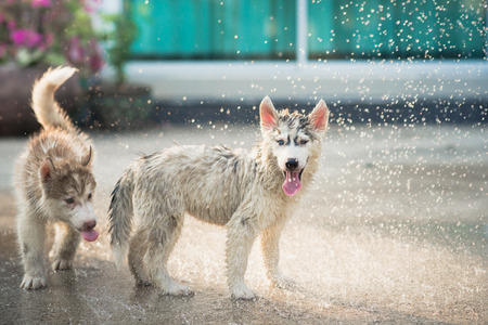 shake off: Cute siberian husky puppies  playing water from a hose outdoors