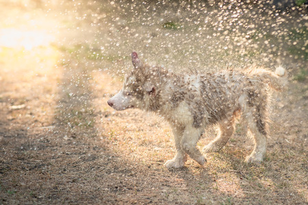fun in the sun: Cute siberian husky puppy shakes the water off its coat