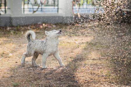 shake off: Cute siberian husky puppy water from a hose outdoors Stock Photo