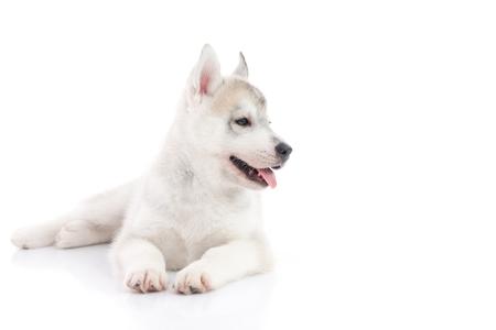 whelp: Cute siberian husky puppy lying  and looking right on white background isolated