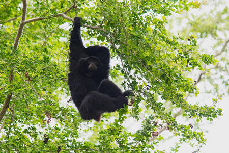 siamang: Siamang Gibbon hanging in the tree.