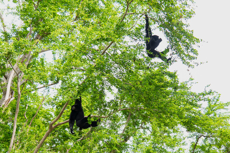 siamang: Two Siamang Gibbons hanging in the tree. Stock Photo