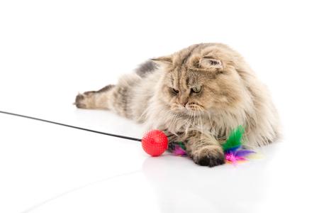 gato persa lindo que juega el juguete en el fondo blanco aislado