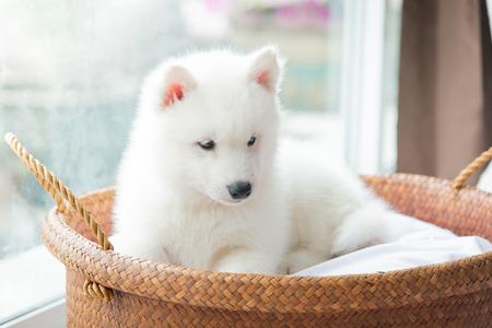 White Siberian husky puppy trova in un cestino