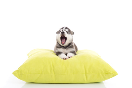 Cute siberian husky puppy yawning on a green pillow,white background isolated
