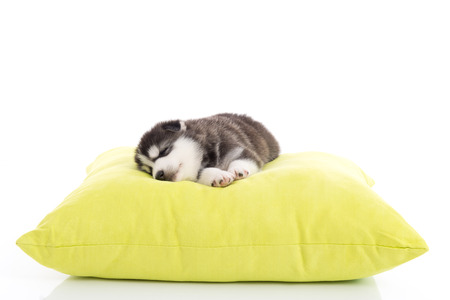howl: Cute siberian husky puppy sleeping on a green pillow,white background isolated
