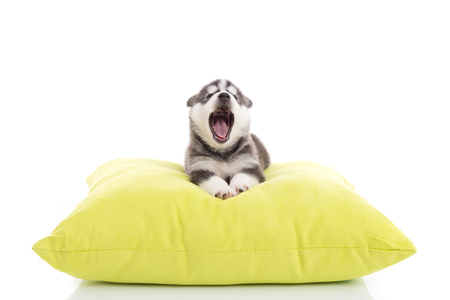 howl: Cute siberian husky puppy yawning on a green pillow,white background isolated