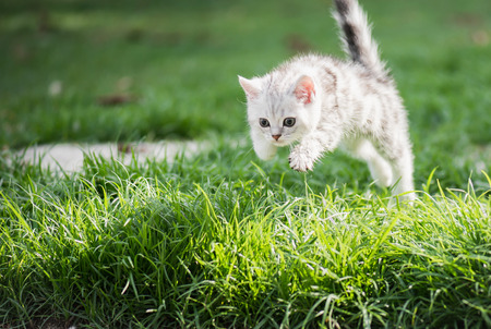 Cute American short hair kitten jumping on the field Stock Photo