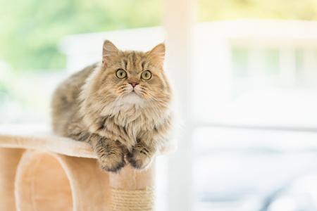 귀여운 페르시아 고양이 고양이 타워에 앉아