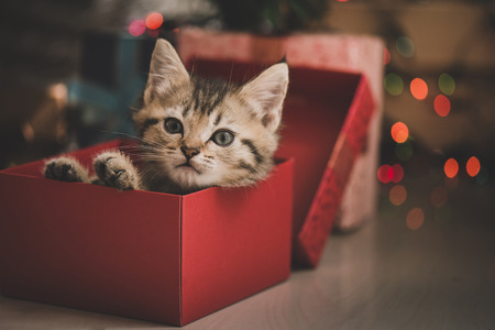 Cute tabby kitten playing in a gift box with Christmas decoration Zdjęcie Seryjne - 64199261