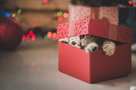 귀여운 tabby 새끼 고양이 크리스마스 장식으로 선물 상자에서 재생