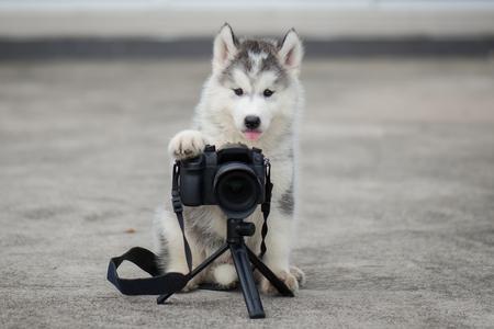 かわいいシベリアン ・ ハスキー子犬写真を撮る 写真素材
