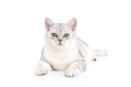silver hair: Cute American Shorthair cat  lying and looking at camera on white background isolated
