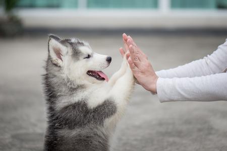 Dammi cinque -Puppy premendo la zampa contro una mano di ragazza Archivio Fotografico - 71379837