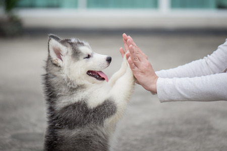 Give me five -Puppy pressing his paw against a Girl hand Reklamní fotografie - 71379837