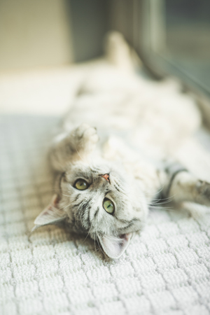 Face of Shorthair cat lying and looking at camera with copy space