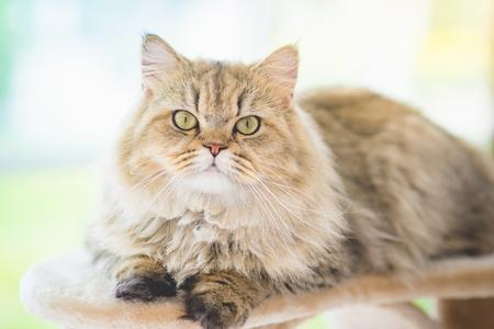 かわいいペルシャ猫がキャット タワーの上に横たわるとカメラ目線