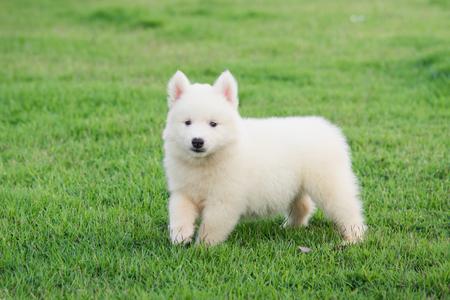 Cute White siberian husky puppy on grass