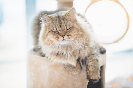 grey cat: Cute persian cat sleeping on cat tower