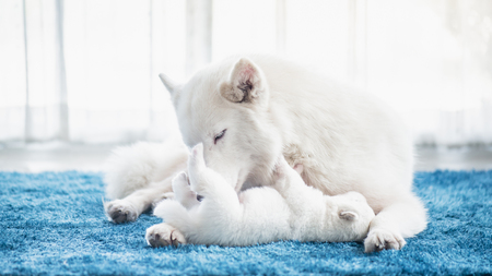 Portrait of white siberian husky mother playing with her puppy together