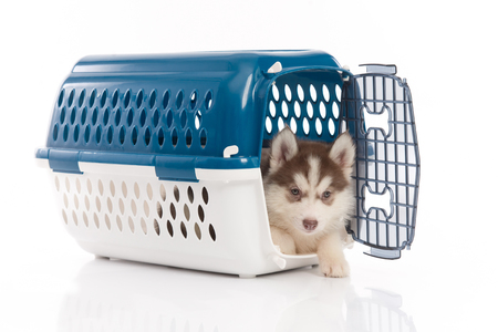 Cute siberian husky puppy in travel box on white background isolated