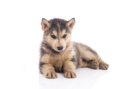 Dirty siberian husky puppy on white background isolated