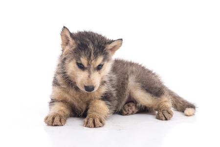 Vuil Siberisch schor puppy op witte geïsoleerde achtergrond