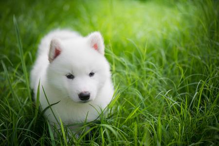 Cute white siberian husky puppy playing on green grass under sunlight Stock Photo