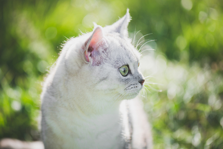 Cute American Short Hair cat look at right on green grass