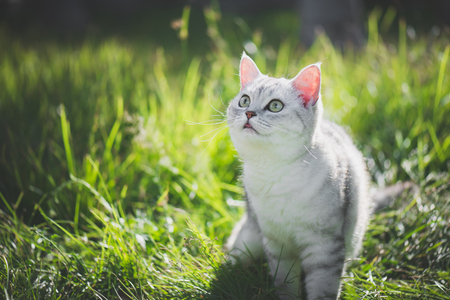 close up of cute American Short Hair cat looking up on green grass