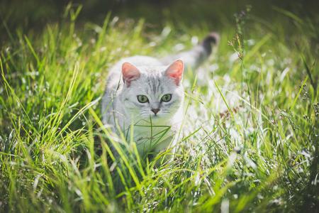 Cute American Short Hair cat playing on green grass