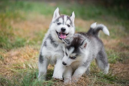 緑の芝生で遊ぶかわいいシベリアン ・ ハスキー子犬