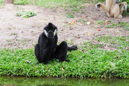 Siamang Gibbon drinkwater met de hand
