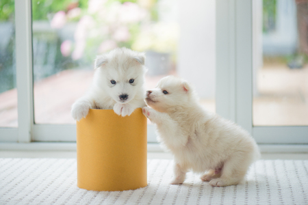 Cute siberian husky puppies  playing in a cylinder box