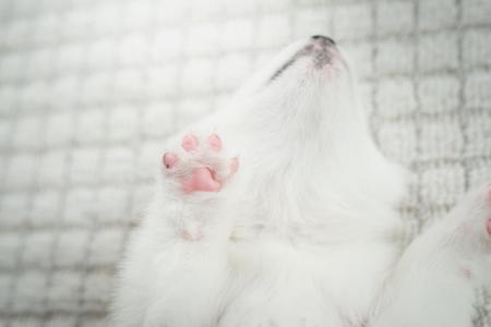 Close up of siberian husky puppy paw Stock Photo