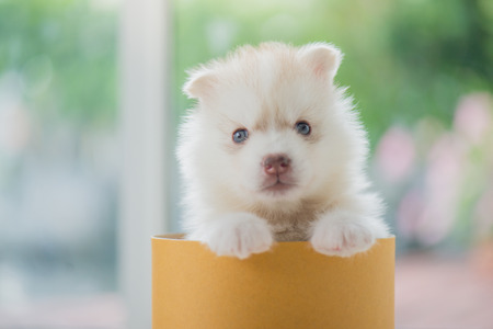 Cute siberian husky puppy  playing in a cylinder box