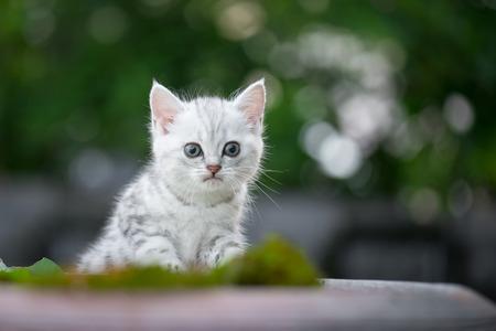 Cute American Short Hair kitten looking at camera