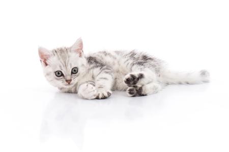 격리 된 흰색 배경에 귀여운 미국 쇼트 헤어 고양이